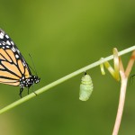 Composite of 4 photographic images; tendril, monarch caterpillar, chrysalis, monarch butterfly - all taken by Renee Dawson